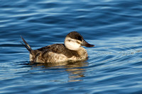 RUDDY DUCK 12-01-0943626