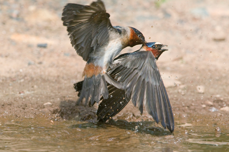 CLIFF SWALLOW 13-06-0562239