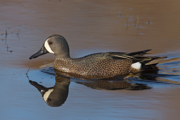 BLUE WINGED TEAL 15-04-1181458