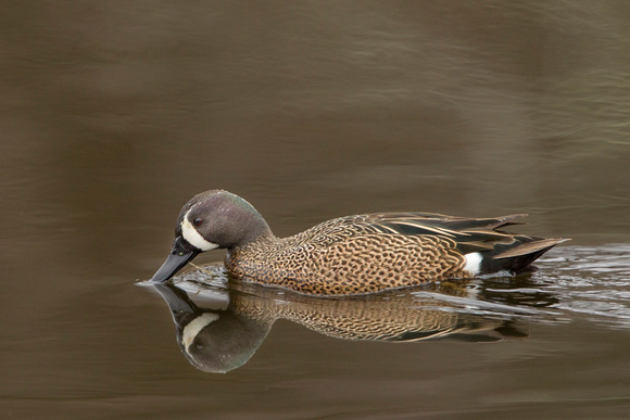BLUE WINGED TEAL 15-04-1181626