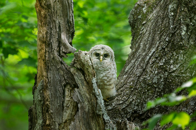 BARRED OWL 15-06-1184036