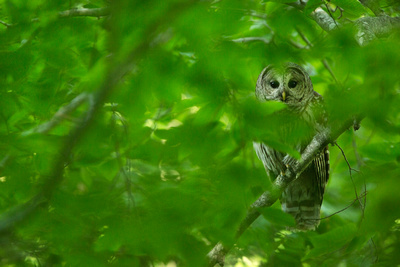 BARRED OWL 15-06-0983804