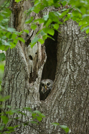 BARRED OWL 15-05-2883090