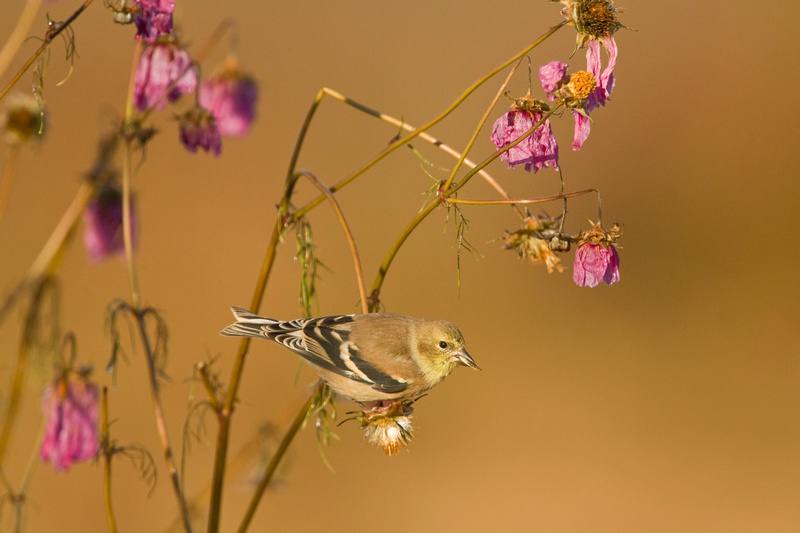 AM GOLDFINCH 13-10-2867054