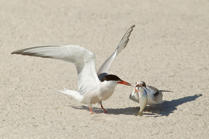 COMMON TERN 13-08-1163849