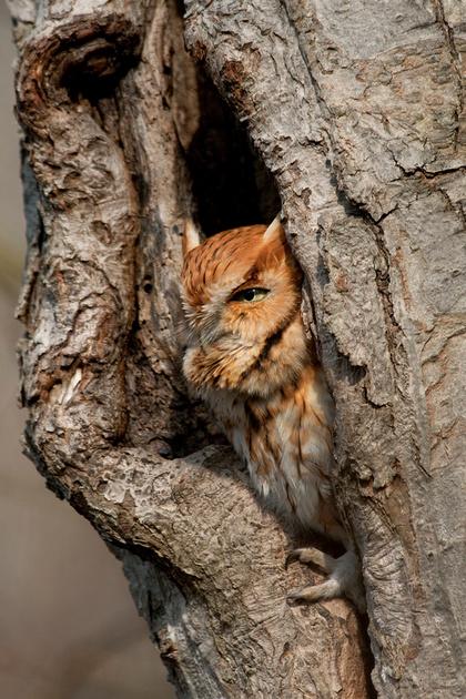 E SCREECH OWL 08-03-0321446