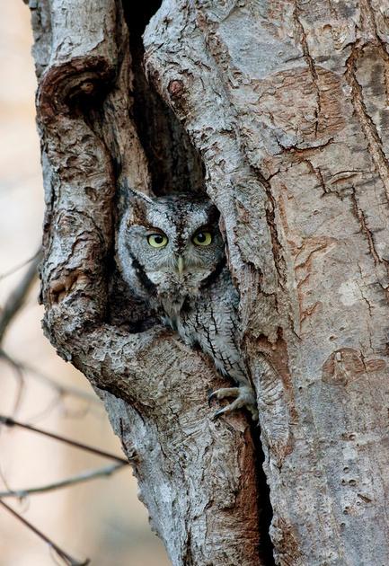 E SCREECH OWL 08-11-1721560