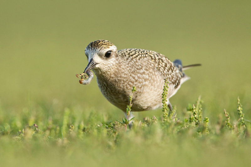 AM GOLDEN PLOVER 13-09-1564673