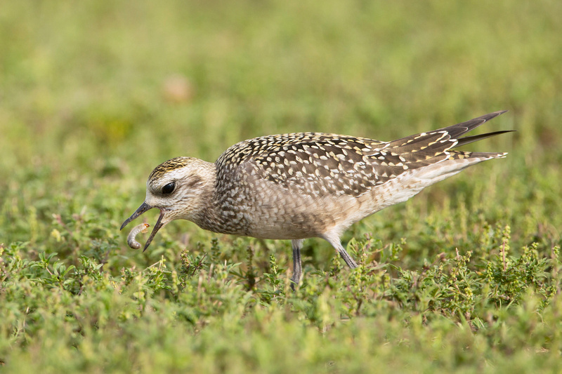 AM GOLDEN PLOVER 13-09-1564690