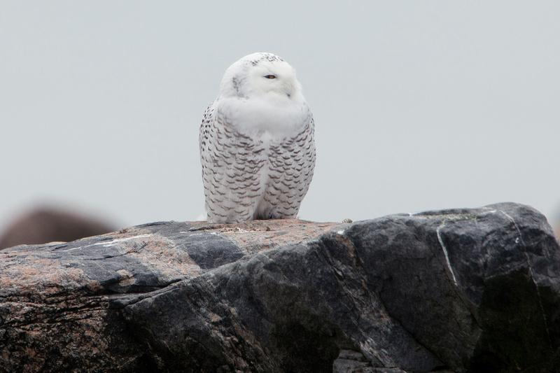 SNOWY OWL 13-12-0268098