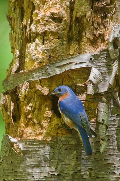 EASTERN BLUEBIRD 14-05-2074919