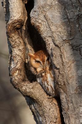 E SCREECH OWL 08-02-1621312