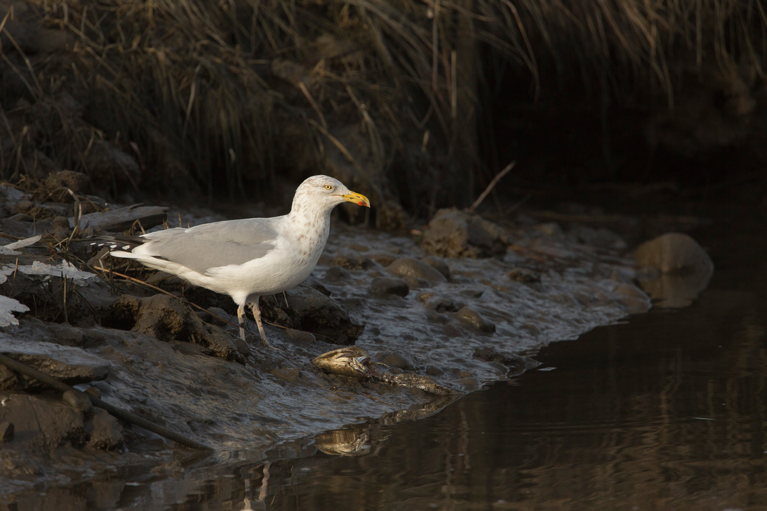 HERRING GULL 14-02-0171157