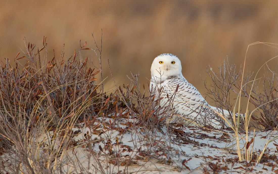 SNOWY OWL 13-12-2769298