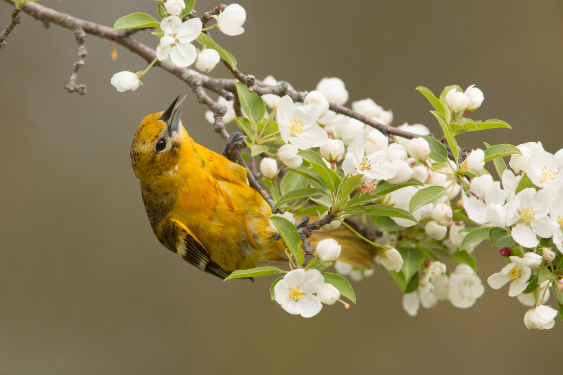BALTIMORE ORIOLE 14-05-1474546