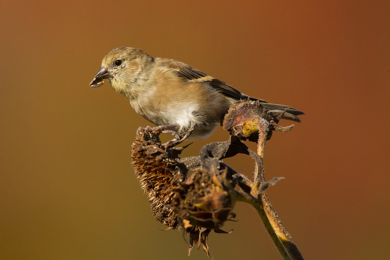 AM GOLDFINCH 13-10-2066919