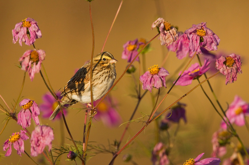 SAVANNAH SPARROW 13-10-2566807
