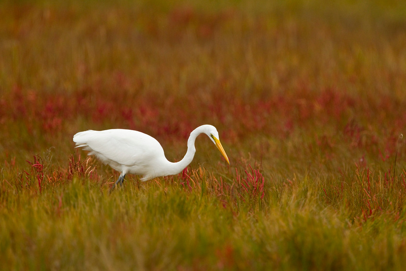 GREAT EGRET 13-10-1165675