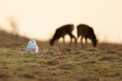 SNOWY OWL 14-01-2070856A