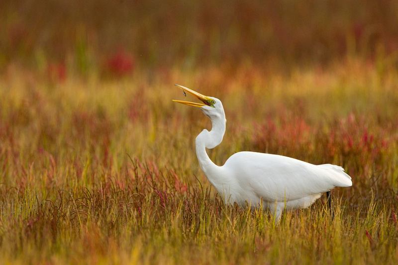 GREAT EGRET 13-10-1265973