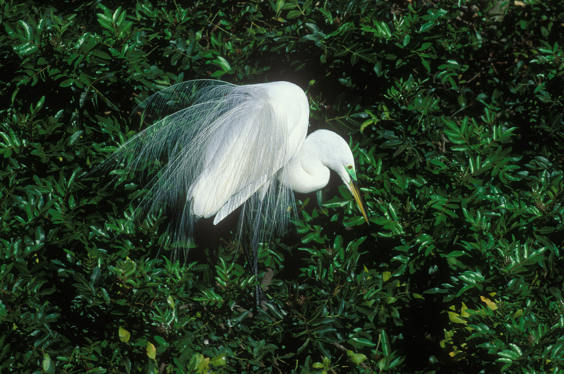 GREAT EGRET 00-14