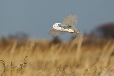 SNOWY OWL 13-12-2769164