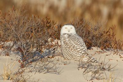 SNOWY OWL 13-12-2769098