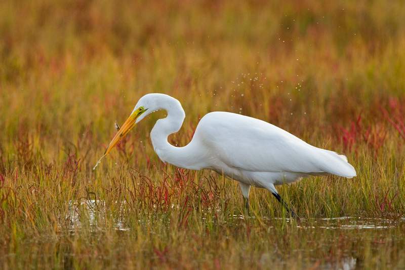 GREAT EGRET 13-10-1266015