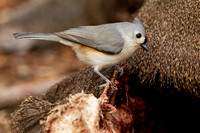 TUFTED TITMOUSE 11-01-0630525