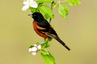 ORCHARD ORIOLE 08-05-1232730
