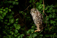 BARRED OWL 16-09-183829