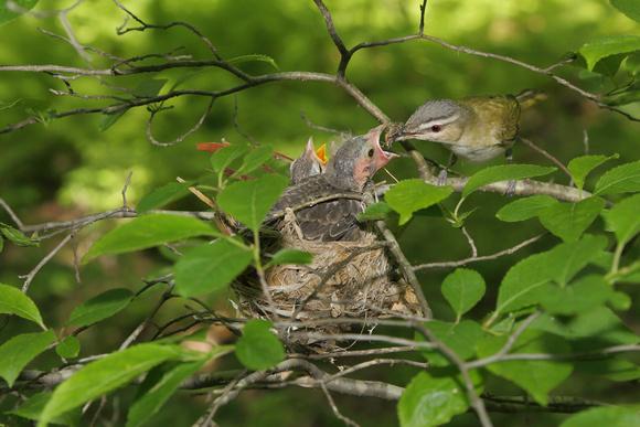 Red eyed vireo nest - photo#19