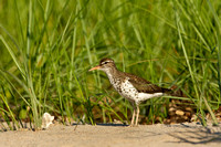 SPOTTED SANDPIPER 12-07-0351681
