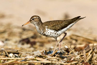 SPOTTED SANDPIPER 12-07-0351709