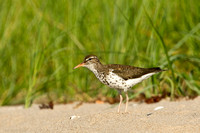 SPOTTED SANDPIPER 12-07-0351687