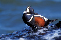 HARLEQUIN DUCK 00-02A