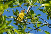 ORCHARD ORIOLE 12-06-1150370