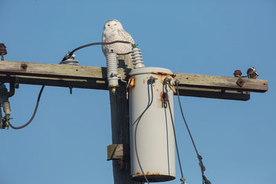 SNOWY OWL 14-01-0970472