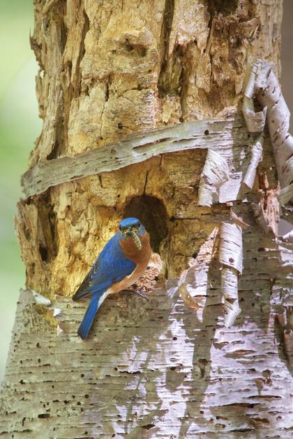 EASTERN BLUEBIRD 14-05-2074952