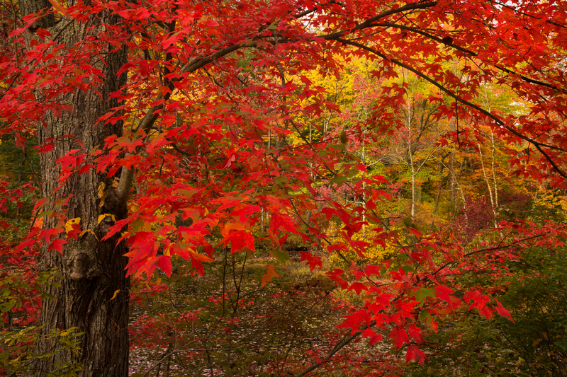 RED MAPLE 13-10-0465511