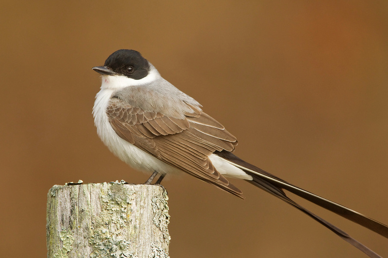 FT FLYCATCHER 13-12-0367760