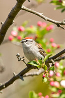 CHIPPING SPARROW 13-05-0763635