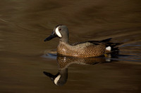 BLUE WINGED TEAL 15-04-1181767