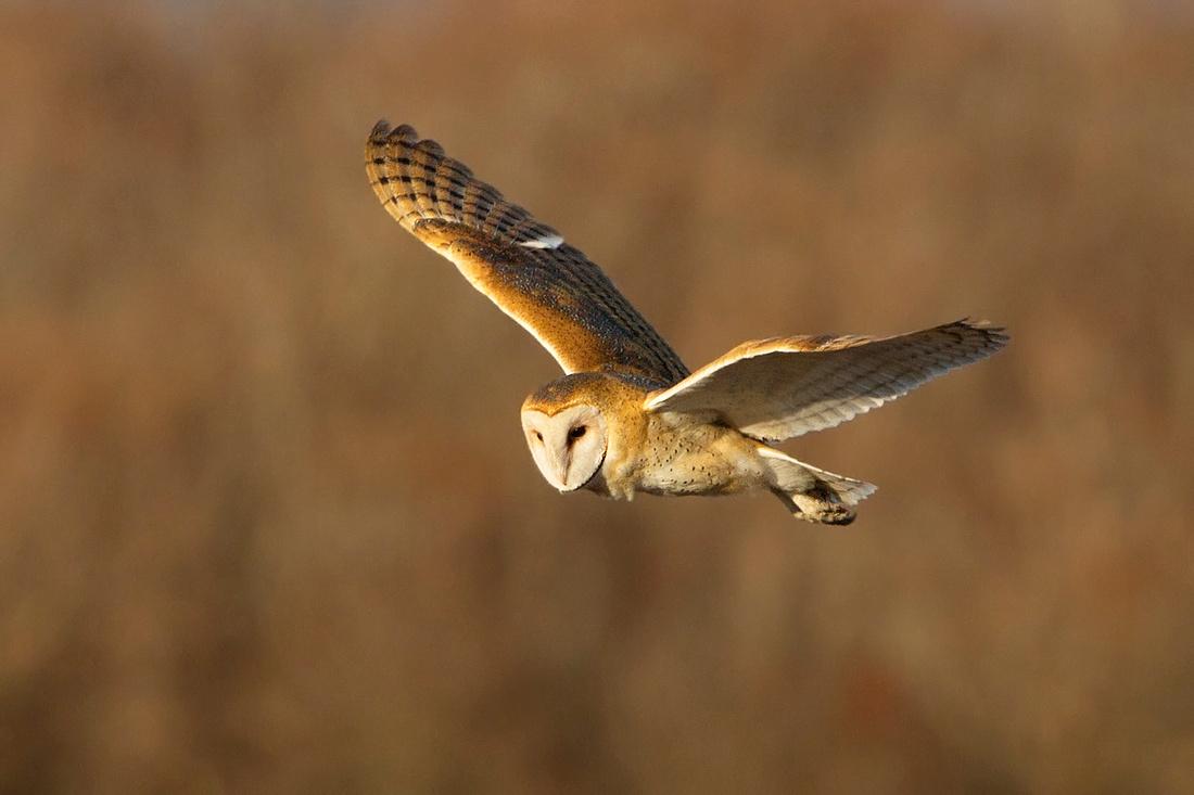 BARN OWL 14-01-0970501