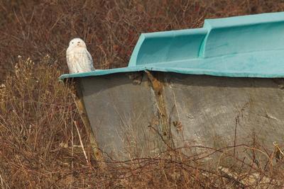SNOWY OWL 13-12-2169557