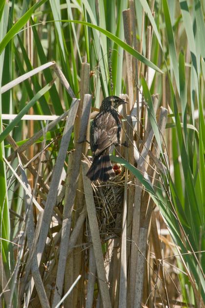RW BLACKBIRD 13-05-2761748