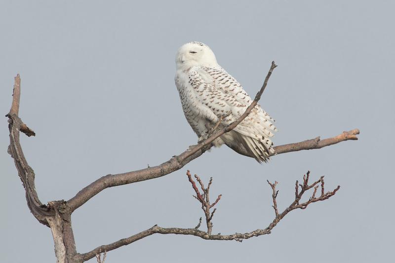 SNOWY OWL 13-12-2269458