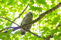 BARRED OWL 16-06-012851