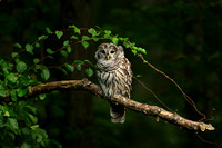 BARRED OWL 16-09-183844