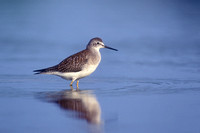 LESSER YELLOWLEGS 00-10